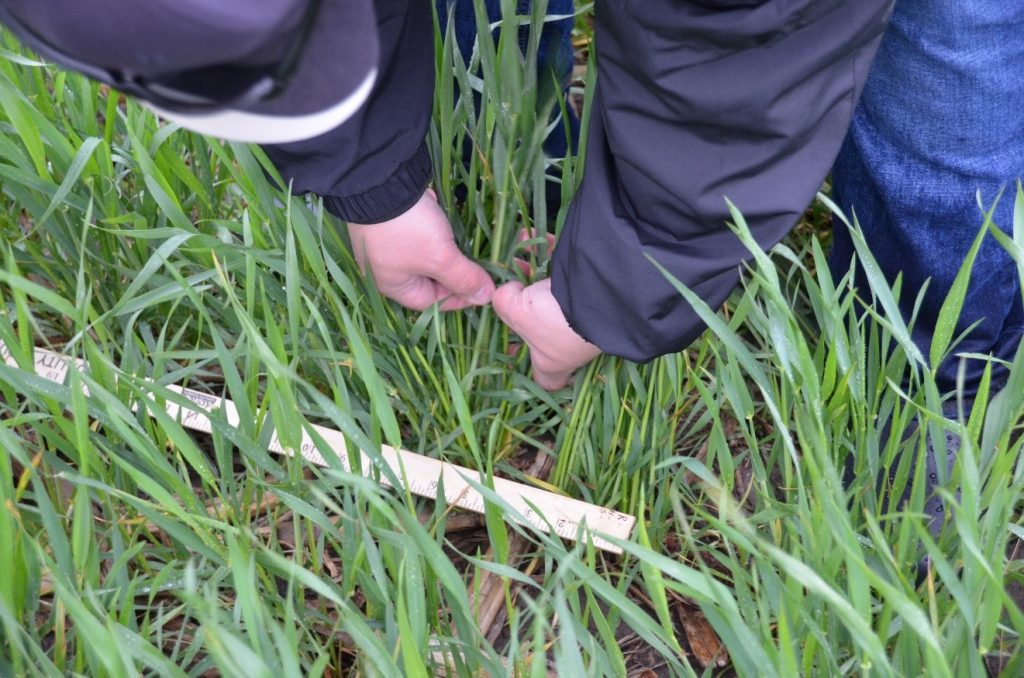 A volunteer counts stalks per foot to develop a yield estimate.