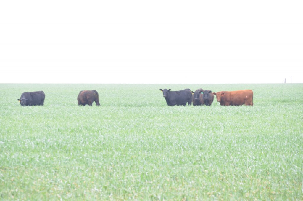 Cattle grazing in an Oklahoma wheat field.
