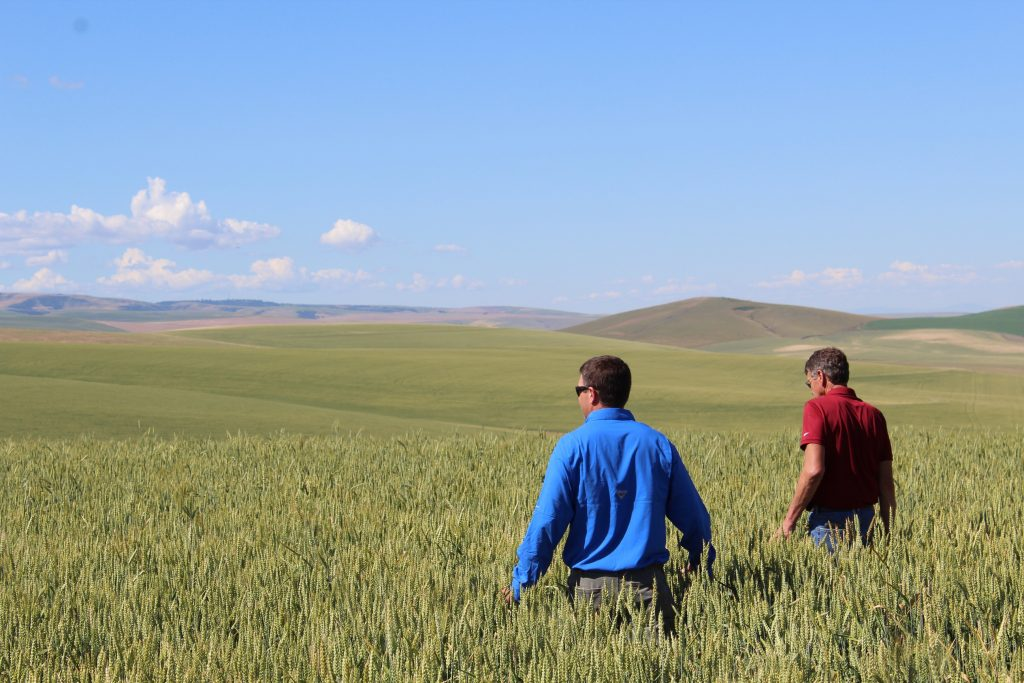 Nathan Rea walks through a field of HealthSense High Fiber Wheat Flour with Mike Klicker from Northwest Grain Growers.