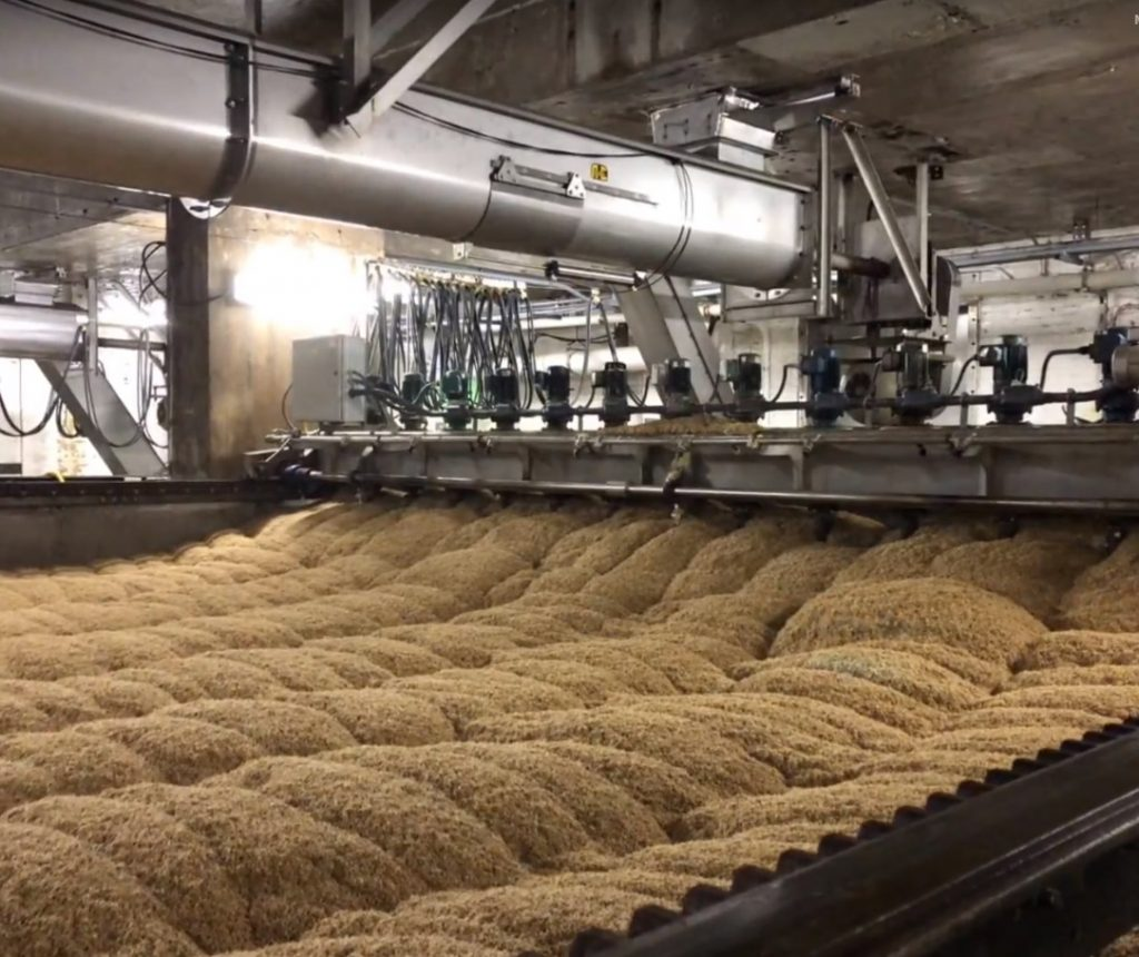 Wheat during the germination phase of the sprouting process. Photo courtesy of Rahr Malting.