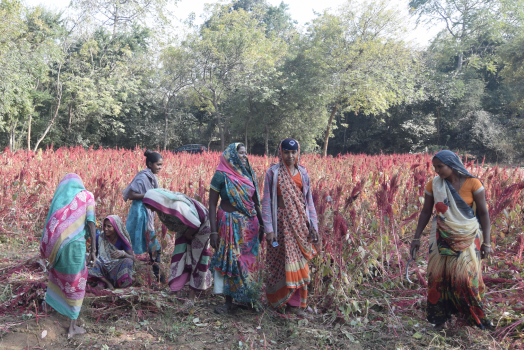 Supporting the Farmers of Amaranth & Flax